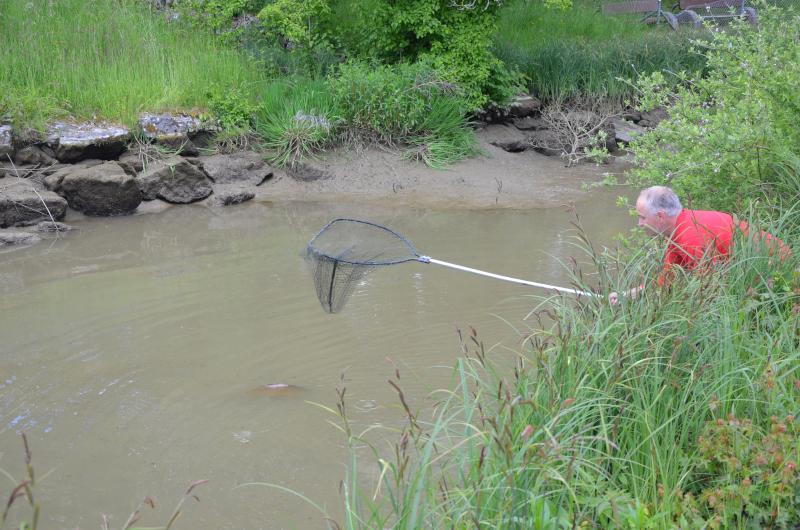 Fischer Bächli holt einen Karpfen für die Zwischenlagerung